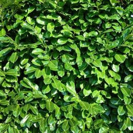 planter un arbuste de haie